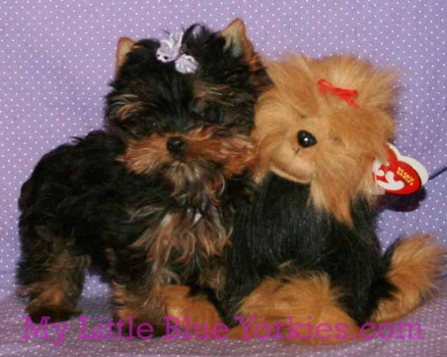 Akc Yorkshire Terriers Dollface Yorkies Champion Pedigree Breeder